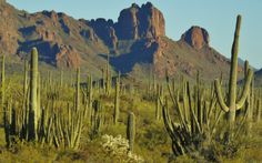 Organ Pipe Cactus National Monument celebrates the life and landscape of the Sonoran Desert. In this desert wilderness, you may drive a lonely road, hike a backcountry trail, camp beneath a clear desert sky, marvel at magnificent cactus, or soak in the warmth and beauty of the Southwest.