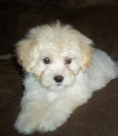 Good with kids and other dogs. Maltese Poodle, Maltese Dogs, Dogs And Puppies, Teacup Puppies, Maltipoo Puppies, Yorkie, Teddy Bear Dog, Bear Dogs, I Love Dogs