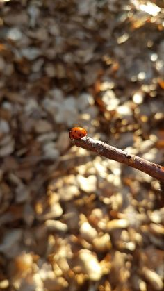 Ladybug in autumn fight🍁🐞 Samsung Photos, Autumn Nature, Lady Bugs, In This Moment