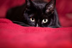 In Japan, a black cat is considered a good luck charm. - Cat - sdominick/Getty Images