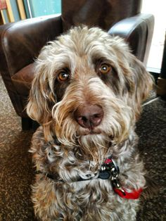 Gander: Service Dog Isn't this the most fabulous face?