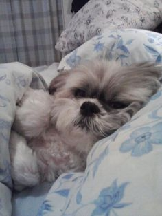 8 Problems Only Shih Tzu Owners Will Understand . The post 8 Problems Only Shih Tzu Owners Will Understand & Dog Red Line appeared first on Dogs and Diana. Chien Shih Tzu, Perro Shih Tzu, Shih Tzu Puppy, Shih Tzus, Cute Puppies, Cute Dogs, Dogs And Puppies, Doggies, Dogs In Bed