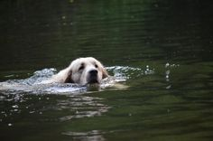 Sam in the water Water, Dogs, Animals, Gripe Water, Animales, Animaux, Pet Dogs, Doggies, Animal