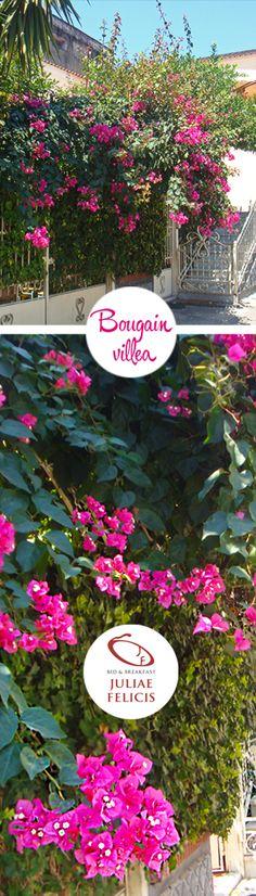 #Bougainvillea spectabilis è una pianta strepitosa  questo rampicante presenta getti spinosi, ha foglie ellittiche di colore verde scuro e si attaccano spontaneamente ai supporti. Dal mese di giugno fino al mese di settembre produce infiorescenze lunghe 20-30 cm, formate da fiorellini avvolti da brattee di consistenza cartacea e di colore rosa magenta. #Bouganville, #Buganvillea, #Bougainville, #Nictaginaceae, #Garden #Gardendesign, #Piante