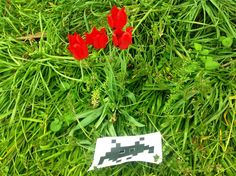 ... tra i rossi tulipan