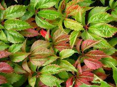 Vigne vierge reconnaissable avec ses 5 feuilles.