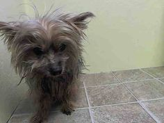 SUPER URGENT 04/13/14 Brooklyn Center   TOKI - A0996558   MALE, BROWN / BLACK, YORKSHIRE TERR MIX, 14 yrs OWNER SUR - EVALUATE, NO HOLD Reason PET HEALTH Intake condition GERIATRIC Intake Date 04/13/2014, From NY 11364, DueOut Date 04/13/2014,  https://www.facebook.com/photo.php?fbid=786654668014081&set=a.617942388218644.1073741870.152876678058553&type=3&theater