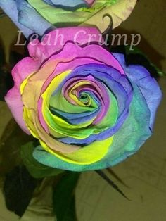Real Rainbow Colored Rose (Color Not Photo Chopped!)