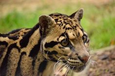 The secretive clouded leopard Photo by Andrew Rundgren — National Geographic Your Shot