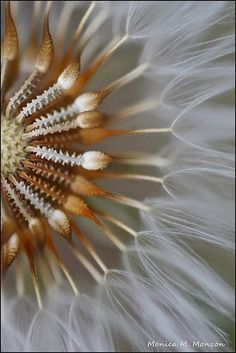 Dandelion...it may be only a humble weed but look at the way it's put together...Amazing!!! Even the most humble of us has something of great beauty:):):)
