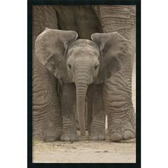 @Overstock - Title: Big Ears-Baby ElephantProduct type: Framed gel coated - Hand applied texture finishhttp://www.overstock.com/Home-Garden/Big-Ears-Baby-Elephant-Gel-textured-Art-Print/6620918/product.html?CID=214117 $79.99