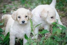 Goldendoodle puppies stop and smell the grass.