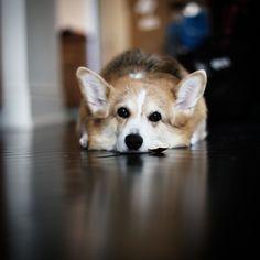 I'm bored! Pembroke Welsh Corgi, Old Dogs, Rainbow Bridge, Corgis, Little Dogs, Puppy Love, Best Dogs, Cute Puppies, Dog Breeds