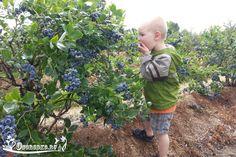 Посадка высокорослой садовой голубики весной, летом, осенью. Узнайте, как лучше сажать, в какую почву, как подкислить грунт, на каком расстоянии высаживать голубику, а также…