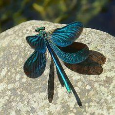 Demoiselle - Calopteryx virgo - is a European damselfly. Wild Life, A Bug's Life, Beautiful Creatures, Animals Beautiful, Cute Animals, Beautiful Bugs, Beautiful Butterflies, Cool Bugs, Dragonfly Art