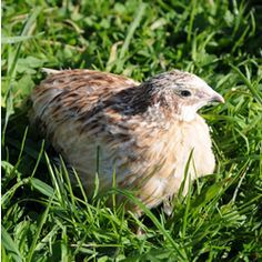 keeping quails, good advice from a proffesional site
