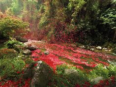 flower petals in Costa Rica cover town after volcano explodes! Stunning!