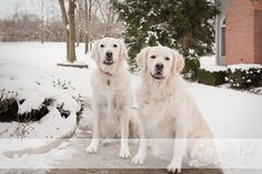Two European Golden Retrievers Outside Home On Snowy Day.  Photo by Danielle Neil Photography.