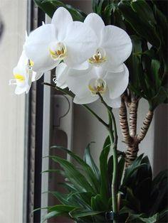 dendrobium nobile orchideen pflegen orchideen arten. Black Bedroom Furniture Sets. Home Design Ideas