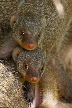 Banded mongoose pups The mongoose is a small rodent-like mammal, the mongoose is similar in appearance to the meerkat and the weasel. Mongoose (Helogale Parvula) -