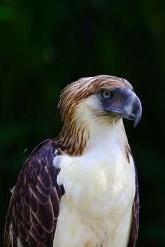 Philipine Eagle