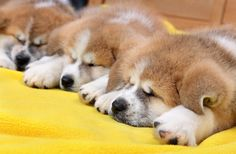 Three Akita Inu puppy dogs sleeping at yellow towel via @AOL_Lifestyle Read more: https://www.aol.com/article/lifestyle/2017/02/07/prince-harry-kids/21709134/?a_dgi=aolshare_pinterest#fullscreen