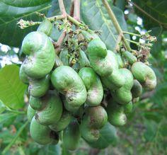 Noix et pomme de cajou — Wikipédia