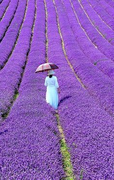 Lavender: The flower, The colour and the fragrance- soothing and bewitching A Lavender farm in Provence, France. Check out France itineraries and travel tips for Aix-en-Provence, Caen, Paris and Avignon on www.Triphobo.com
