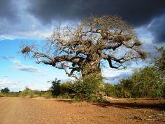 Kruger National Park, South Africa Baobab Tree