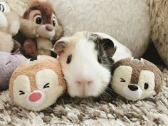 """133 Likes, 3 Comments - Guinea Pigs  (@loveguineapig_ig) on Instagram: """"Posted by @love_guineapigsgram *  If you want t-shirts, please check the link in my bio…"""""""