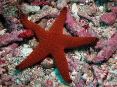 Echinodermata. Echinoderms are a phylum of marine animals. The adults are recognized easily by their radial symmetry, and include such well-known animals as starfish, sea urchins, sand dollars, and sea cucumbers. Free living exclusively marine forms.