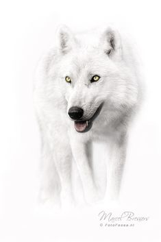 White Wolf by Marcel Bressers on 500px