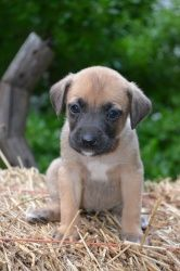 Emma~ is an adoptable Boxer Dog in Pearl River, NY.  Emma is a sweet little 7 week old female Boxer/Lab puppy surrendered to our rescue in TN. She is so sweet and loves everyone, and gets along grea...