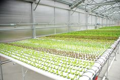 The Advantages Of Growing Food Indoors With Hydroponic Gardening Hydroponic Farming, Hydroponic Growing, Aquaponics Diy, Hydroponics System, Hydroponic Lettuce, Led Grow Lights, Diy Bed, Urban Farming, Home And Garden