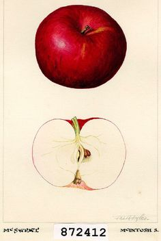 Don't forget apple Pie - a Pi Day staple. 1923 Watercolour of McSweet Apple by Faith Fyles for Canadian Department of Agriculture Horticulture Research Program