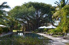 Banyan Tree & Pool (Claudia_Ian, Oct 2012)  Fantastic, Amazing, Outstanding, Spectacular... - Trou aux Biches Resort & Spa - Mauritius
