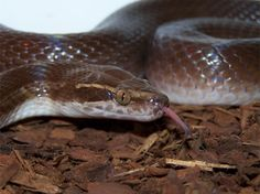 Lamprophis- African House Snake