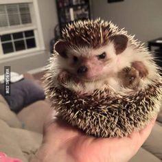 My friend's hedgehog has an attitude.