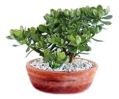 planta de jade en maceta Succulent Pots, Cacti And Succulents, Planting Succulents, Jade Bonsai, Beautiful Gardens, Beautiful Flowers, Feng Shui Energy, Feng Shui House, Crassula Ovata