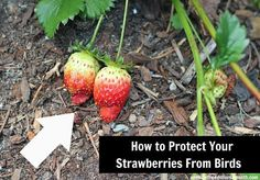 how to protect strawberries