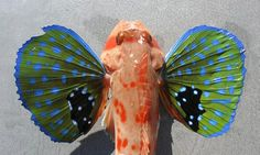 Butterfly of the Sea--The Red Gurnard (Chelidonichthys spinosus)