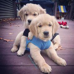 Tag your best friend #welovegoldens  (Hbd lauren!) by goldenretrievers_