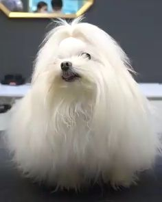 Do you prefer professional grooming or groom your dog by yourself❓ Perfect Grooming Source by wagpets The post Perfect Grooming appeared first on Welch Puppies. Havanese Dogs, Maltese Dogs, Maltese Poodle, Dog Grooming Styles, Pet Grooming, Cute Puppies, Cute Dogs, Dogs And Puppies, Small Dog Breeds