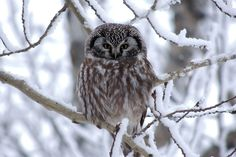 Boreal Owl (Aegolius funereus). Photo by Michael Butler.