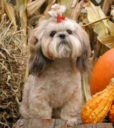 Shih Tzus have compact, sturdy bodies with long flowing double coats and long facial hair. Considered a sacred animal in its native China, the nimble Shih Tzu was once described as having a lively gait 'like a goldfish.'