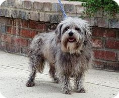 Lathrop, CA - Lhasa Apso/Poodle (Miniature) Mix. Meet Clooney, a dog for adoption. http://www.adoptapet.com/pet/14961435-lathrop-california-lhasa-apso-mix