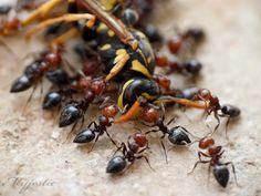 Feasting ants