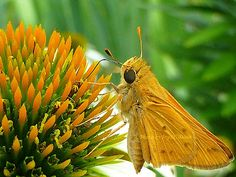 Fiery Skipper 2012 | Beyond Zephyr