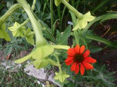 2016 nicotiana and cone flower