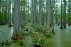 cypress swamp in southern Illinois